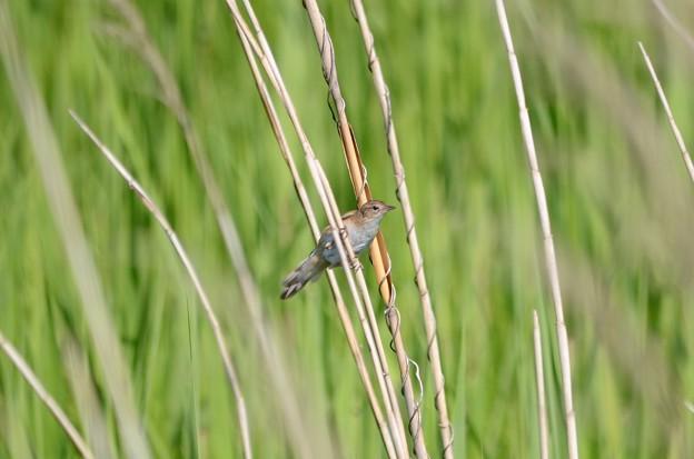 写真: 葦原にオオセッカ 渡良瀬遊水地にて