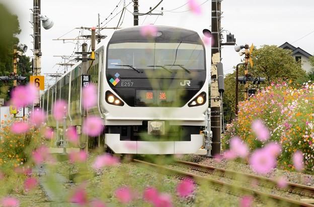 秋桜の日光線を行くE257系