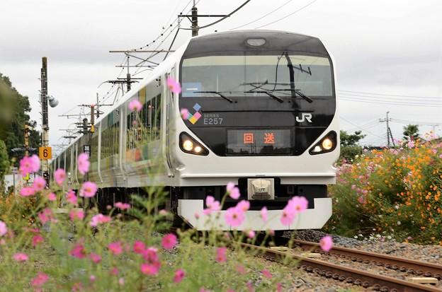 E257系団臨送り込み回送秋桜咲く日光線入線