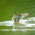 写真: ヒドリガモ羽ばたき