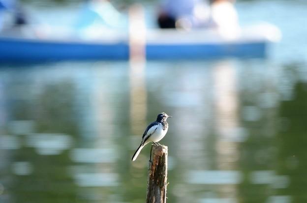 写真: ボート池のセグロセキレイ