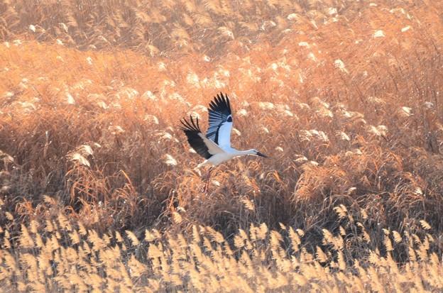 葦原を飛ぶコウノトリ