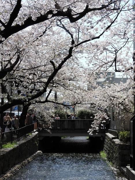 京都四条木屋町高瀬川の桜