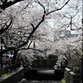 Photos: 京都四条木屋町高瀬川の桜