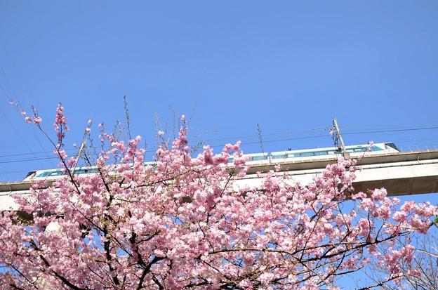 八重桜とリバティ