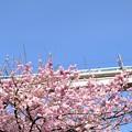 Photos: 八重桜とリバティ