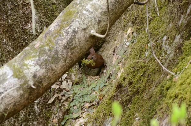 巣材を運ぶミソサザイ