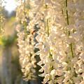 Photos: 白藤の香りに魅せられて