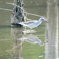 Photos: アオアシシギ 葛西臨海公園鳥類園にて