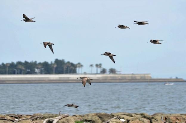 チュウシャクシギの群れ飛翔