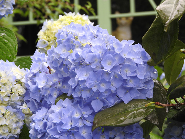 雨に濡れる紫陽花