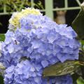 Photos: 雨に濡れる紫陽花