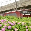 Photos: 紫陽花と金太郎