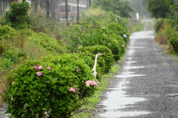 雨の小径に佇むアオサギ