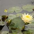 水面の白い花