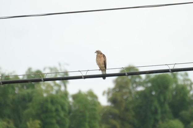 線路脇の電線にとまるサシバ若鳥