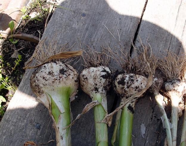 2018-05-25ニンニク初収穫
