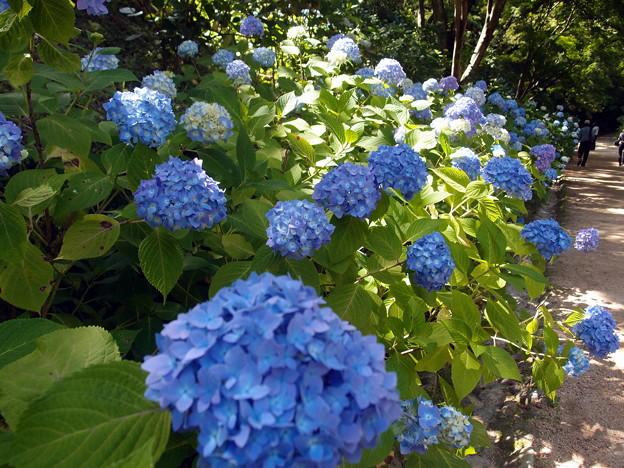 2018-06-17紫陽花