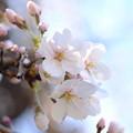 Photos: ご近所のお寺の桜