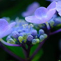 病院の紫陽花