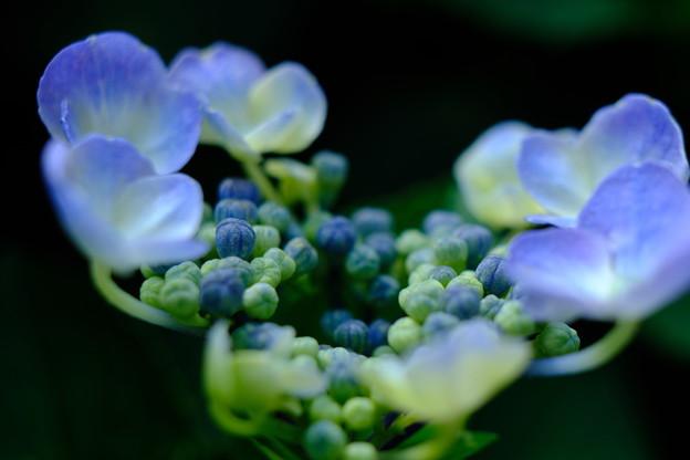 Photos: 病院の紫陽花
