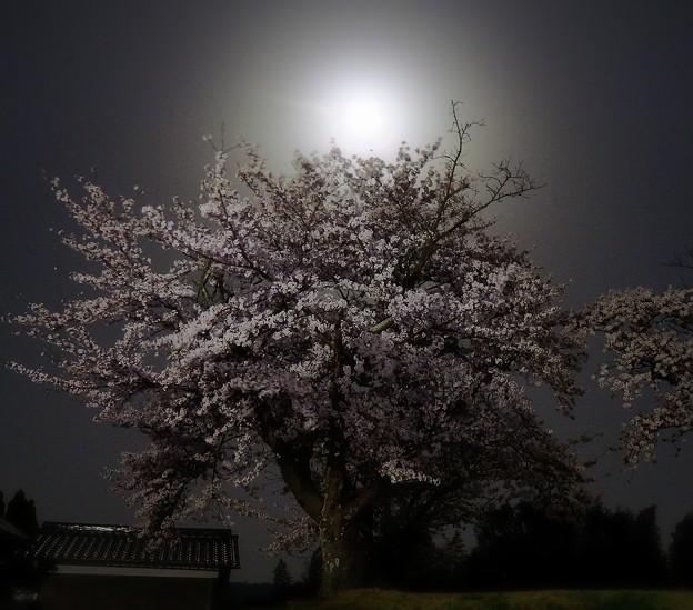 ブルームーンと桜
