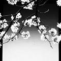 Photos: がいせん桜