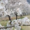 写真: 桜咲く小道