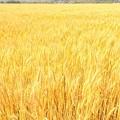 Photos: もうすぐ収穫