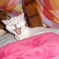DSCN7667-白猫のおおあくび