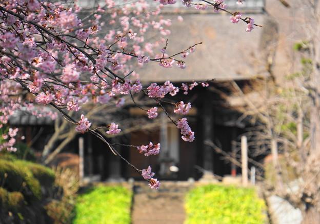 180314_01_中日桜・S18200・α60(西方寺) (5)