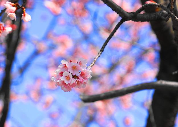 180314_01_中日桜・S18200・α60(西方寺) (24)