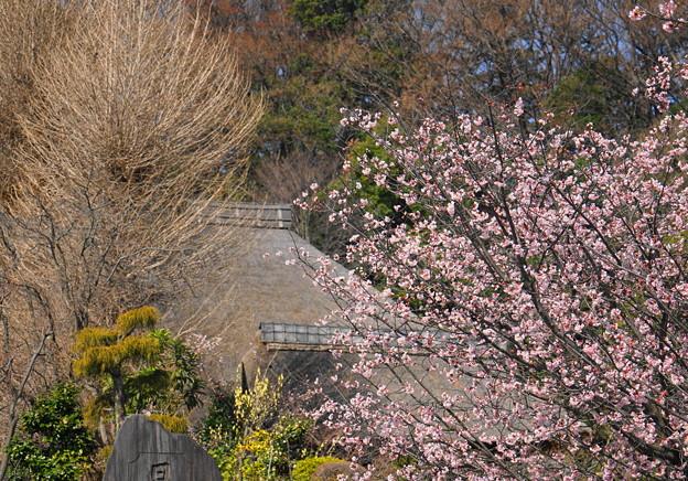 180314_01_中日桜・S18200・α60(西方寺) (29)