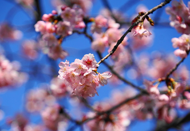 180314_03_中日桜・S18200・α60(西方寺) (4)