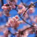 Photos: 180314_03_中日桜・S18200・α60(西方寺) (4)