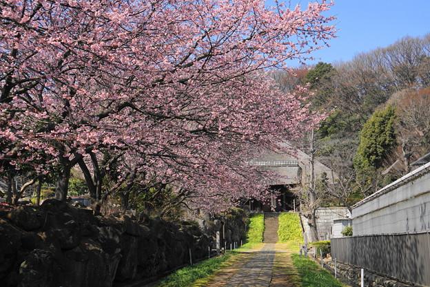 180314_14_中日桜・S18200・α60(西方寺) (6)