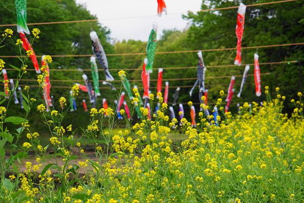 rs-180414_15_鯉のぼり・S18200・α60(谷戸の菜の花畑) (11)