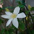 写真: 180410_52_クレマチス・白・Sm・α60(我が家の花壇) (2)