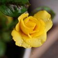 Photos: rs-180606_19_ミニバラ・Sm・α60(我が家の花壇) (9)