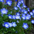 写真: rs-180424_04_ネモフィラ・Sm・α60(我が家の花壇) (3)