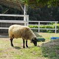 rs-180429_19_羊さん・S18200・α60(羊山公園) (1)
