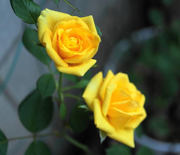 180721_31_ミニバラ・Sm・α60(我が家の花壇) (4)