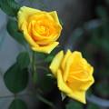 写真: 180721_31_ミニバラ・Sm・α60(我が家の花壇) (4)