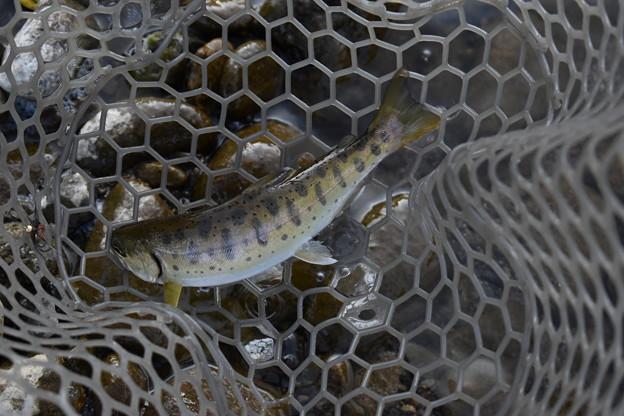 綺麗な模様の川魚