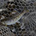 写真: 綺麗な模様の川魚