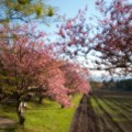 写真: 石崎地主海神社の桜