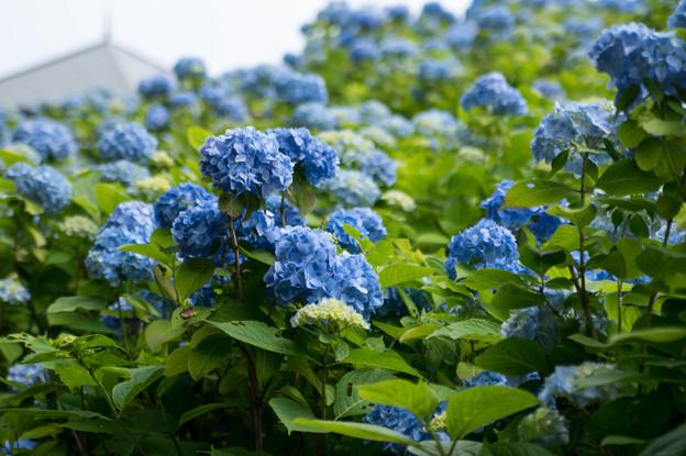 写真: アジサイ~函館市民の森