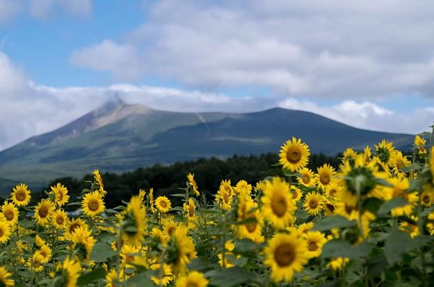 ひまわりと駒ヶ岳