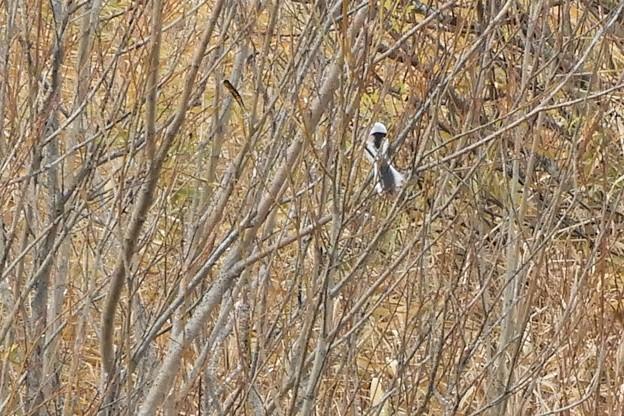 尾の長い鳥