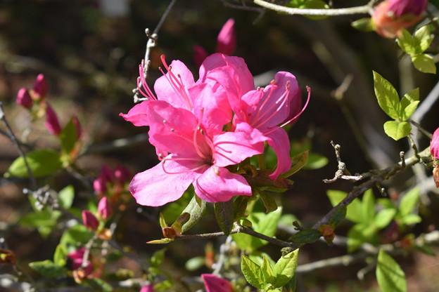 庭園で見られるツツジの希少品種